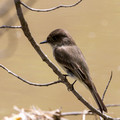 Eastern Phoebe on thin branch