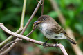 Eastern Phoebe with caterpillar