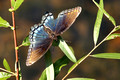 Scarred Red spotted purple - Limenitis arthemis