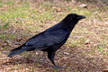 American Crow - 6th fairway
