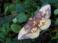Imperial moth - Eacles imperialis - topside