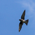 Female Purple Martin - wings spread