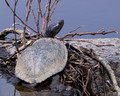 Red-eared Terrapin catching some Spring rays