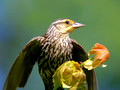 Female Red-Winged Blackbird - in tree top