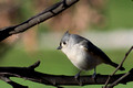 Tufted Titmouse on Redbud branch