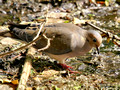Mourning Dove in the muck