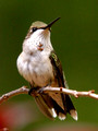 Young male Ruby-Throated Hummingbird - posing - Green Mountain NC