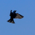Male Purple Martin - landing approach
