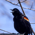 Male Red-winged Blackbird - Links Pond