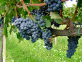 Grapes nearing harvest - Montefalco Italy