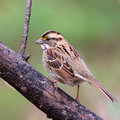 White-throated Sparrow on a dead branch