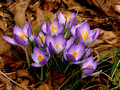 Crocuses in February - Reston VA