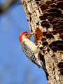Male Red-bellied Woodpecker working on home