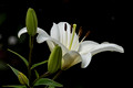 White lily - ISO-50