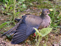 Mourning Dove - wing spread