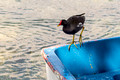 One of many Moorhens - Lake of Banyoles