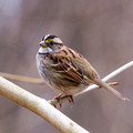 White-throated Sparrow on a thin branch