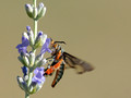Clearwing Moth (Melittia cucurbitae) on Lavender