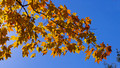 Yellow leaves - blue sky
