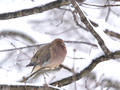 Mourning Dove waiting out the blizzard