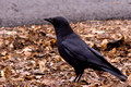 American Crow on ground