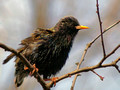European Starling - drying out