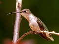 Female Ruby-Throated Hummingbird - tongue extended - Green Mountain NC