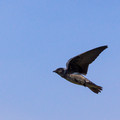 Female Purple Martin - wings up
