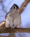 Tufted Titmouse in the shade