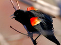 Male Red-winged Blackbird wings spread