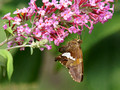 Silver Spotted Skipper (Epargyreus clarus) - on Butterfly Bush