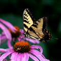 Eastern Tiger Swallowtail on Cone Flower