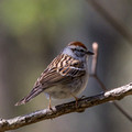 Chipping Sparrow from behind