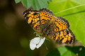 Pearl Crescent on white bloom
