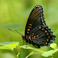 Red-spotted Purple - side view