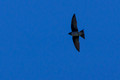 Purple Martin over Links Pond