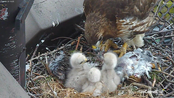 Red-tailed Hawk chick 13 - Cornell: http://www.livestream.com/cornellhawks