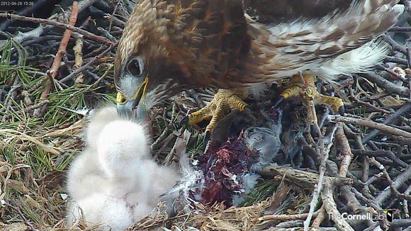 Red-tailed Hawk chick 12 - Cornell: http://www.livestream.com/cornellhawks