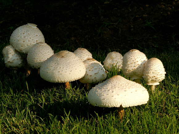 Toad Stools in early AM light