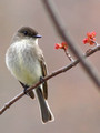 Eastern Phoebe with buds