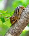 Eastern Chipmunk up a tree