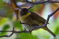 Common Yellowthroat - female - looking back