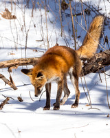 Ten seconds in the life of a Red Fox
