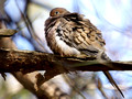 Mourning Dove - fluffed up
