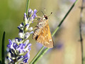 Skipper variety on Lavender