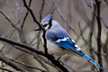 Blue Jay out back