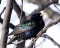 European Starling on a cold March day