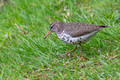 Spotted Sandpiper in the grass
