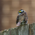 White-throated Sparrow on a fence