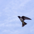Female Purple Martin - above Links Pond